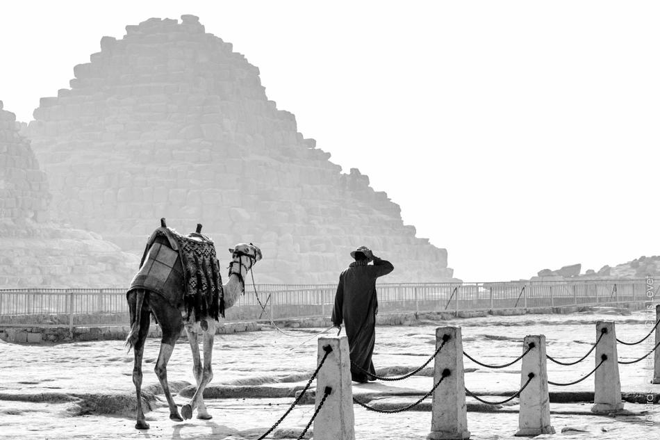 Dromadaire aux pyramides de Gizeh