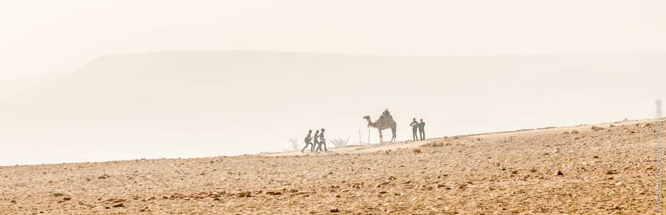 Dromadaire au plateau de Gizeh