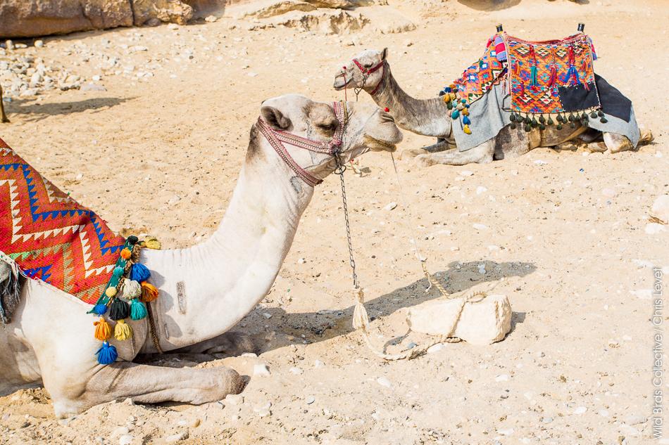 Dromadaires aux pyramides de Gizeh