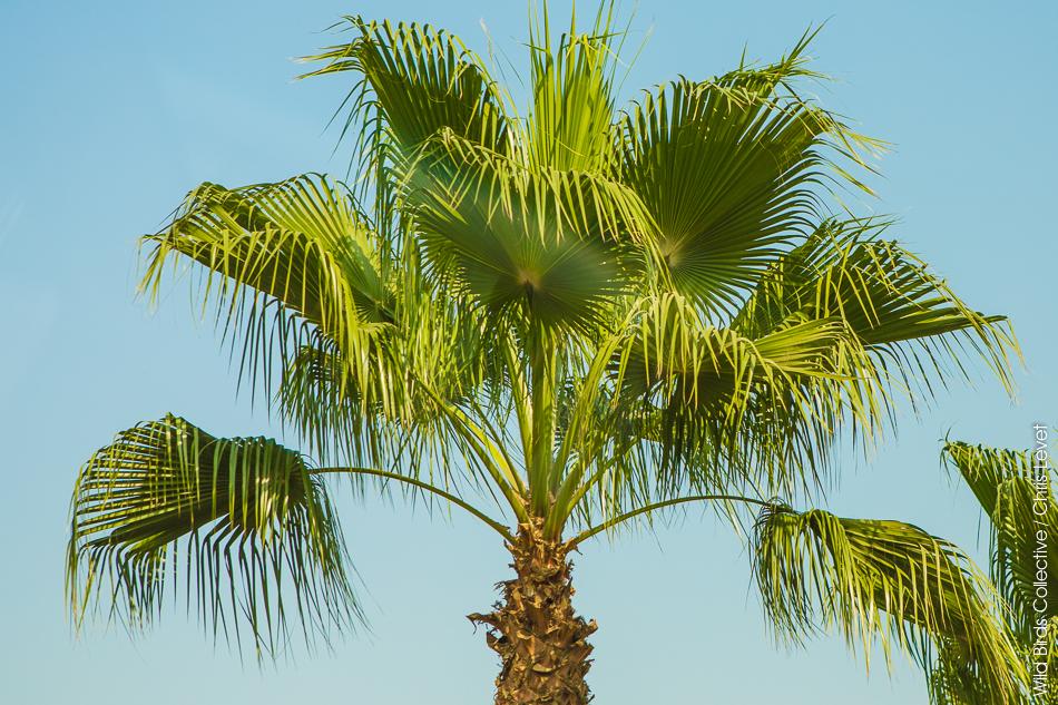 Palmier au Caire
