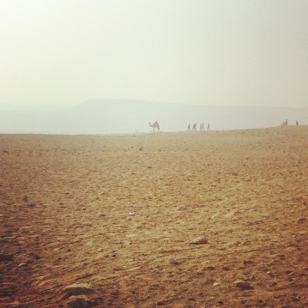 Dromadaire en Egypte