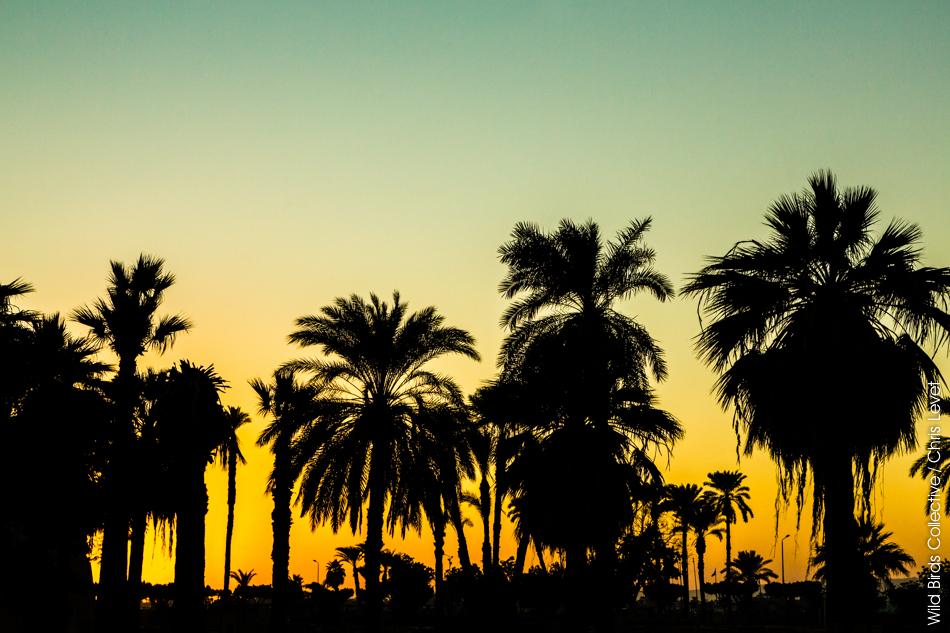 Palmiers Louxor Egypte