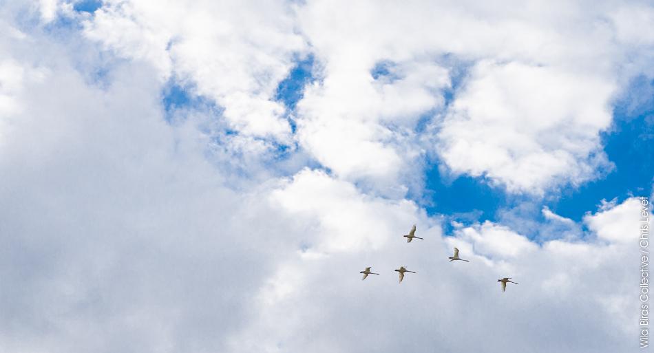 Oiseaux Skaftafell Islande