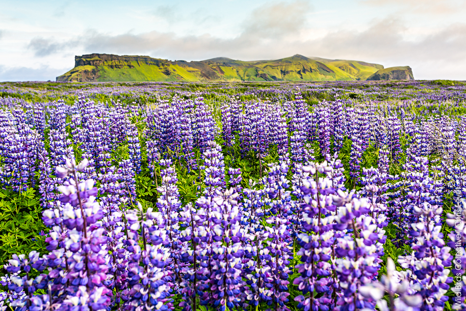 Hjörleifshöfði Islande