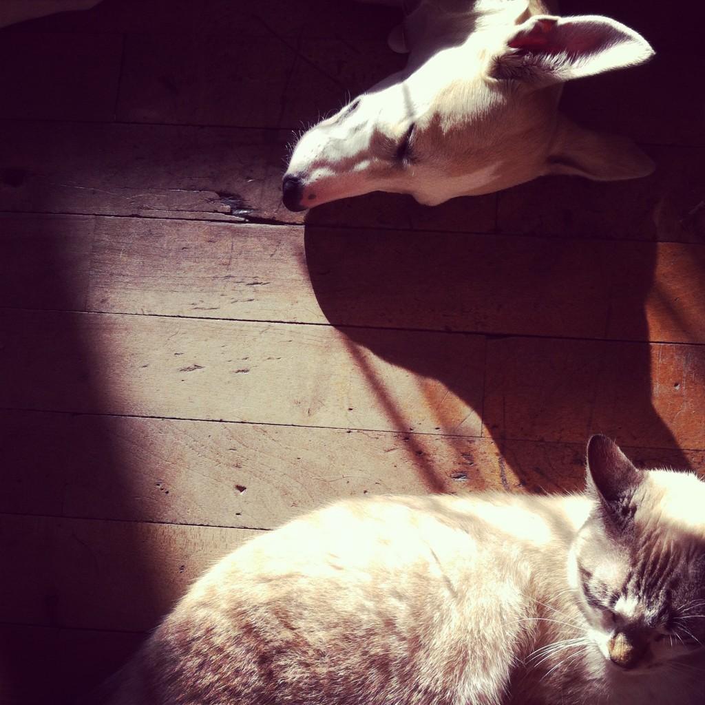 Lévrier Galgo et chat