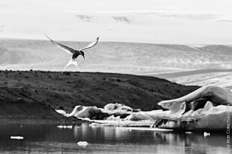 Islande Jokulsarlon Sterne Arctique