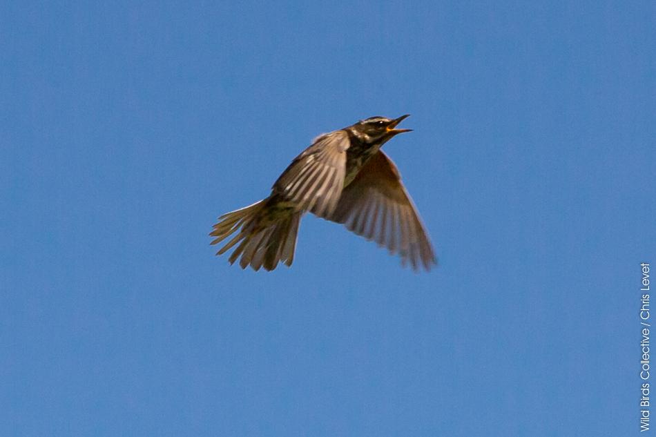 Oiseau Skaftafell Islande