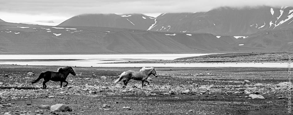 Chevaux Landmannalaugar Islande