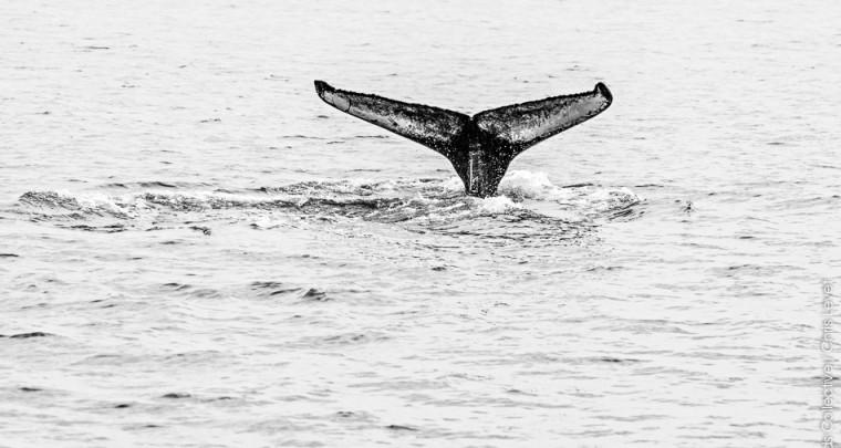 Voir les baleines en Islande