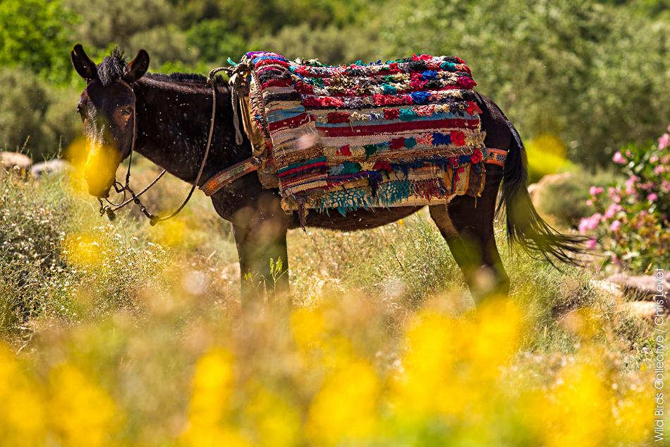 Mules au Maroc
