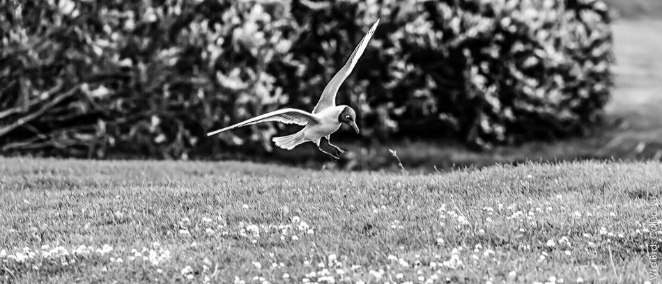 Islande Myvatn Oiseau