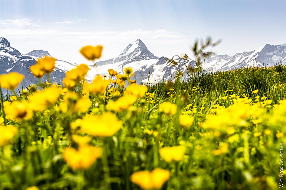 Schreckhorn Suisse