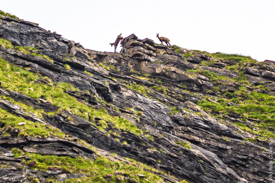 Chamois Jungfrau Suisse