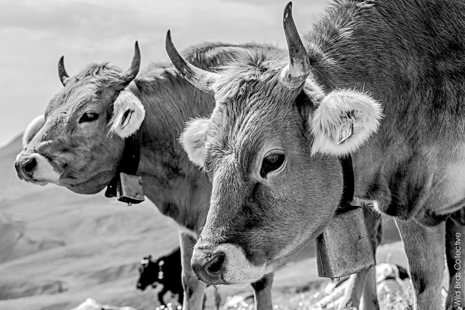 Vaches suisses Jungfrau