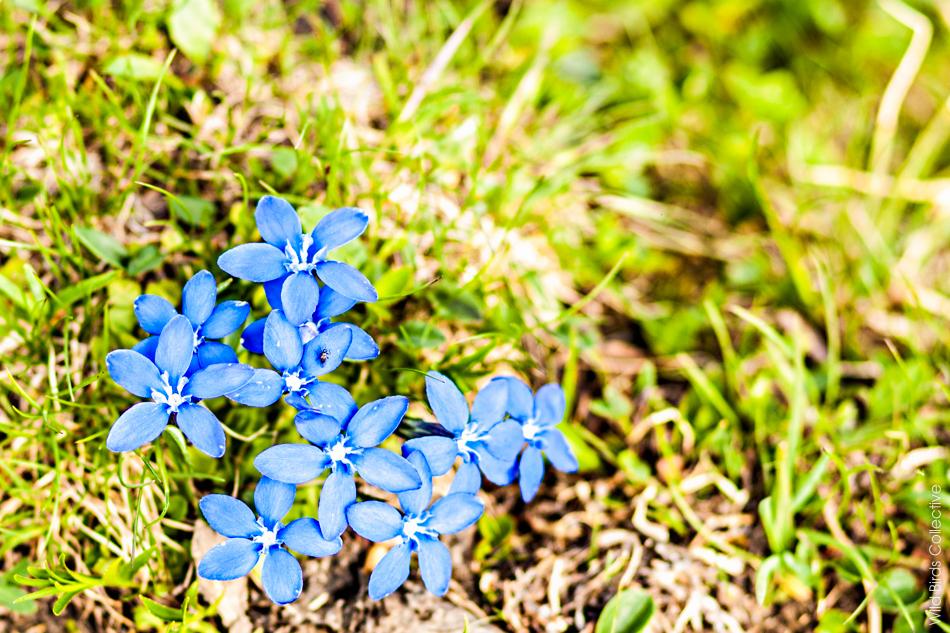Fleurs Jungfrau