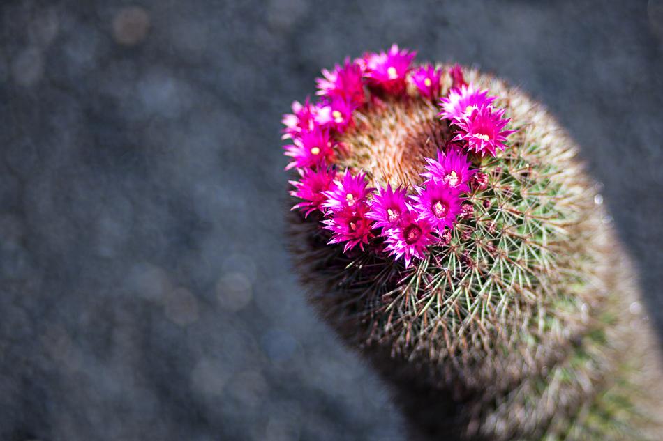 Cactus en fleur à Lanzarote