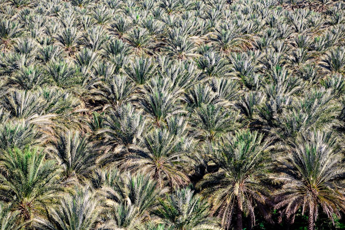 Palmeraie de Birkat Al Mawz