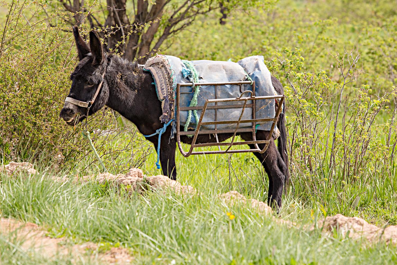 Mule au Maroc